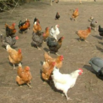 A Poultry-Yard for Beginners